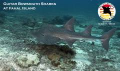 Bowmouth Guitar Sharks at Qantab